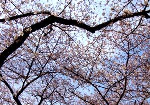 今年の桜、まだ早かった